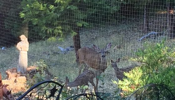 The Deer and her fawns 7.17.17