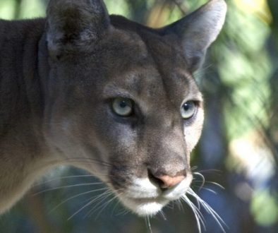 mountain-lion-1543219_1280